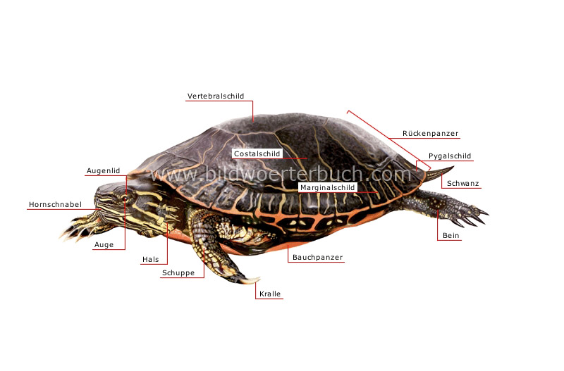 morphology of a turtle image
