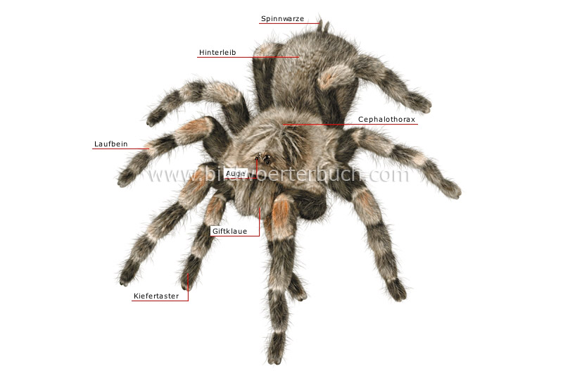 morphology of a spider image
