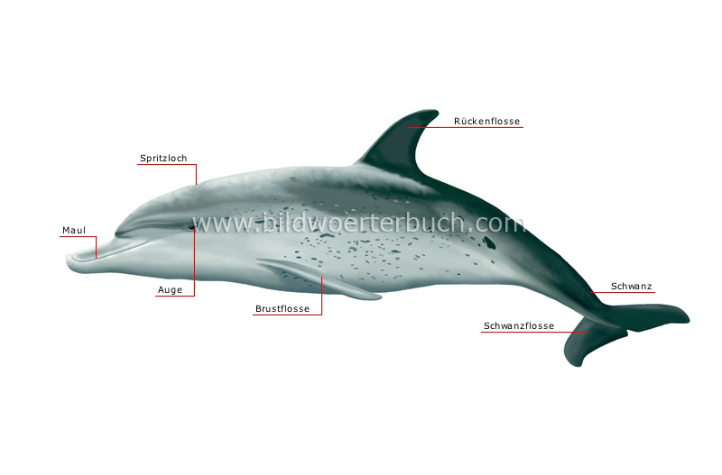 morphology of a dolphin image