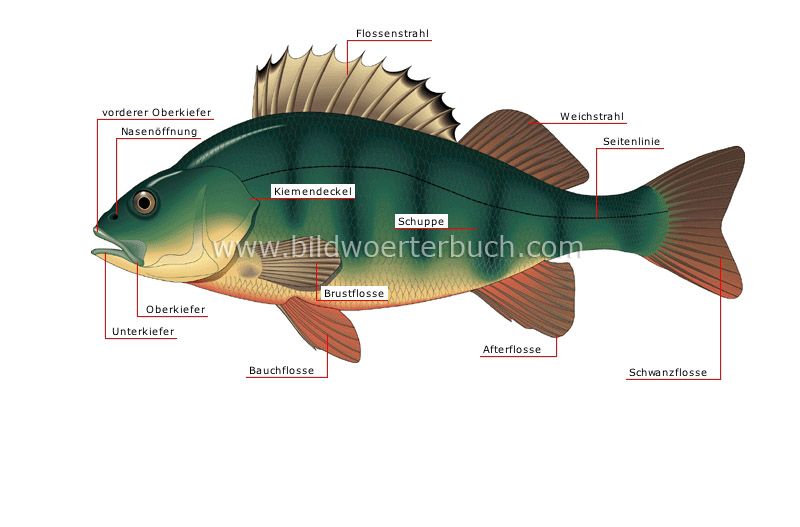 morphology of a perch image