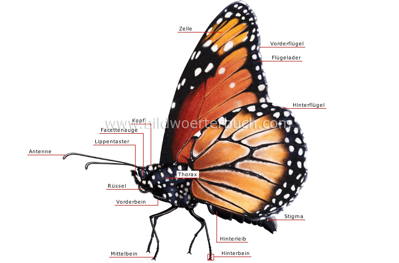morphology of a butterfly image