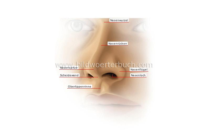 human being :: sense organs :: smell and taste :: external nose ...