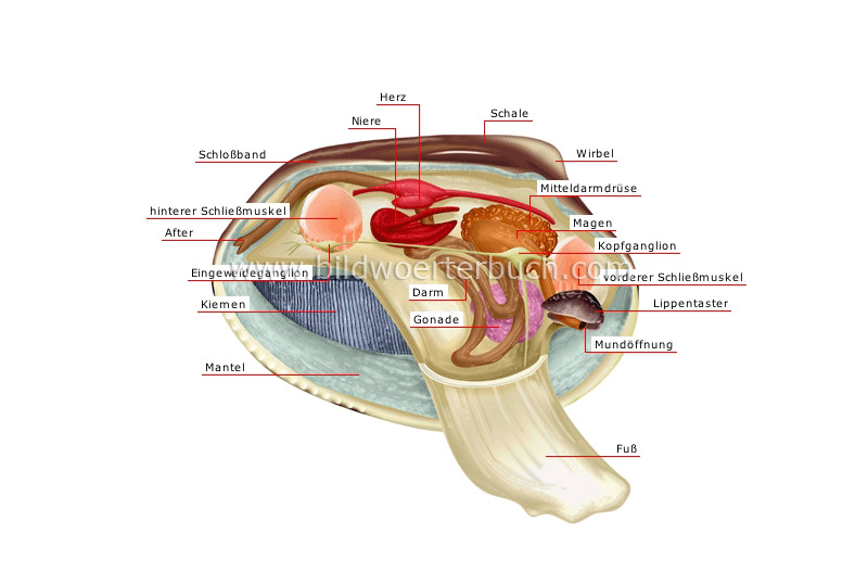 anatomy of a bivalve shell image
