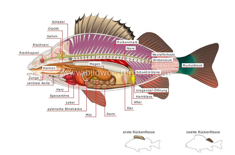 Tierreich :: Fische :: Knochenfisch :: Anatomie eines Flußbarschs ...