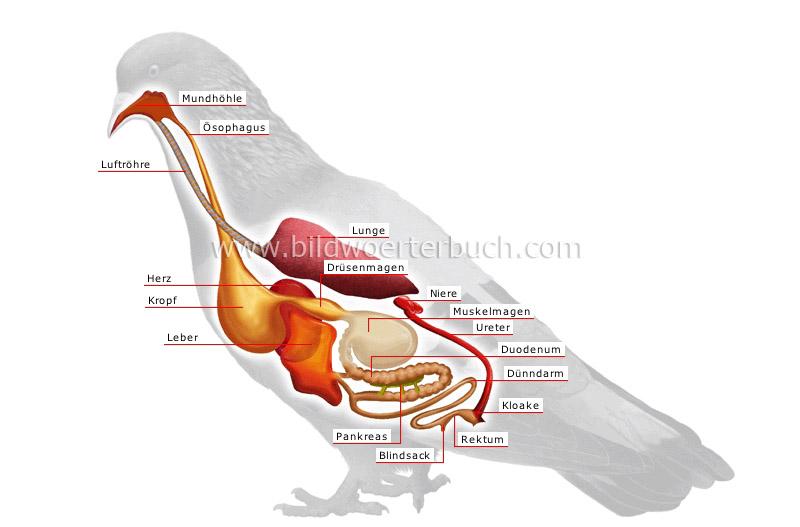 Tierreich :: Vögel :: Vogel :: Anatomie eines Vogels Bild ...