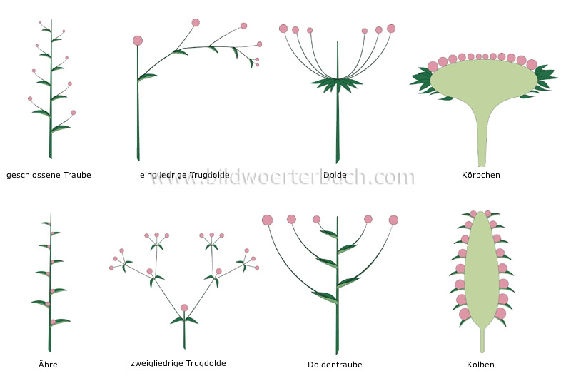 types of inflorescences image