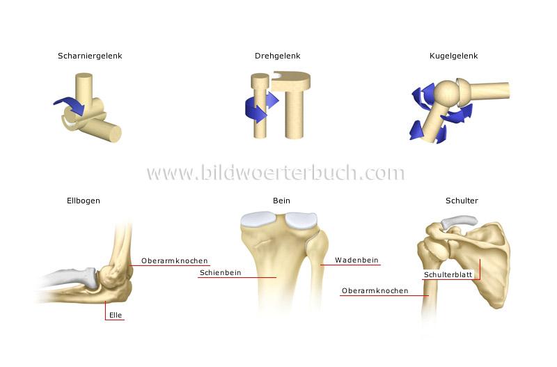 Mensch :: Anatomie :: Skelett :: Arten von echten Gelenken Bild ...