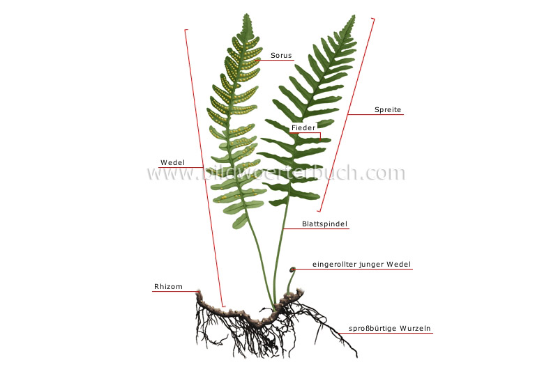 structure of a fern image