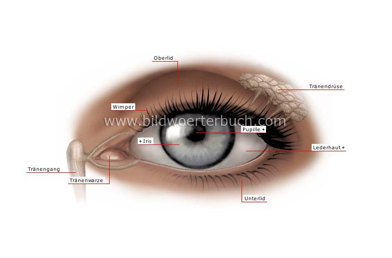 Auge - Bildwörterbuch