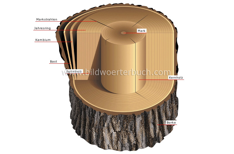 cross section of a trunk image