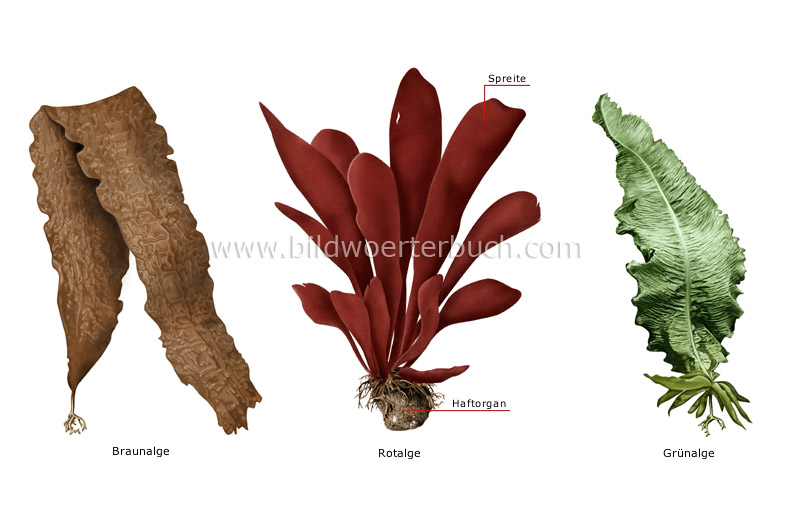 examples of algae image