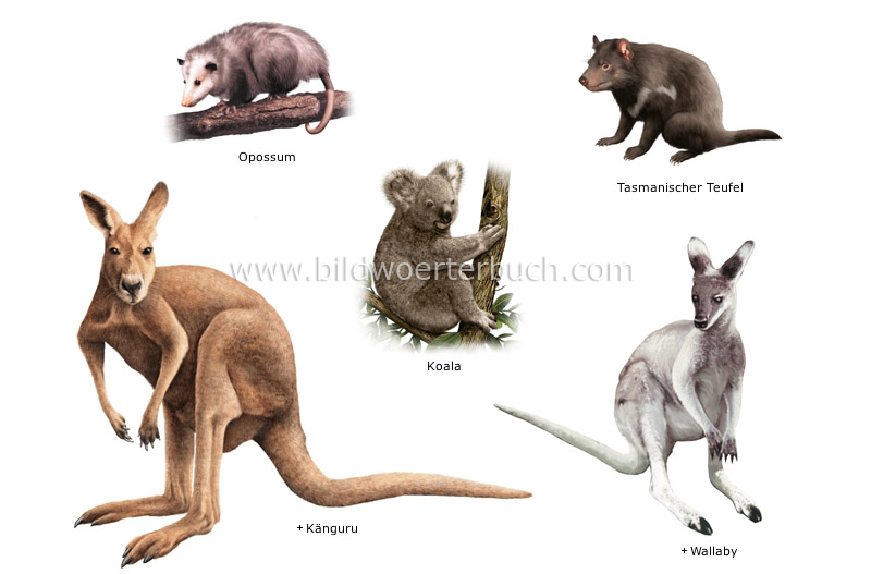 examples of marsupials image