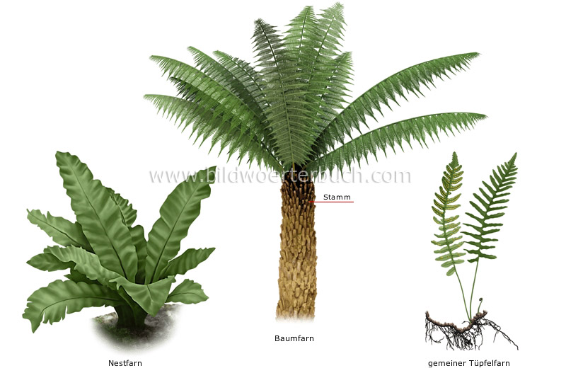 examples of ferns image