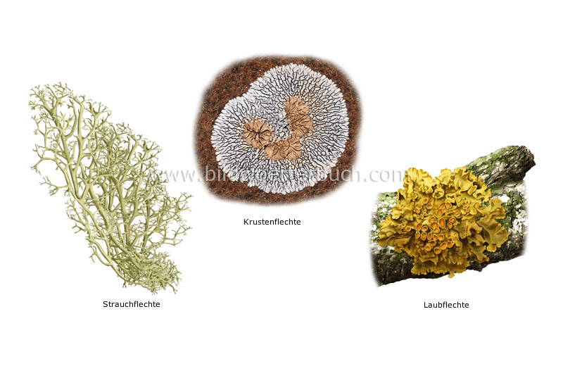 examples of lichens image