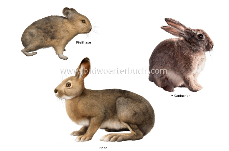 examples of lagomorphs image