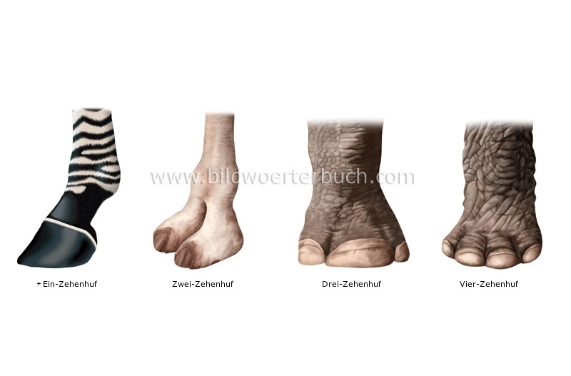 examples of hoofs image