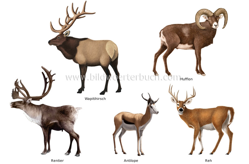 examples of ungulate mammals image