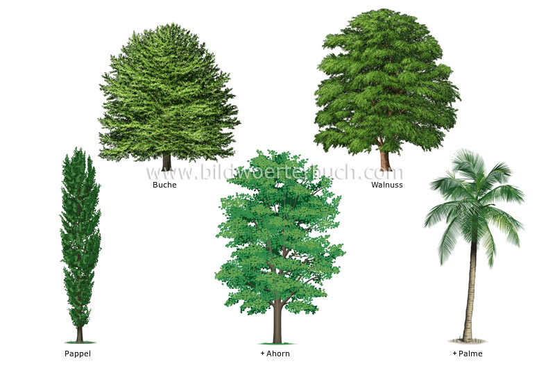 examples of broadleaved trees image