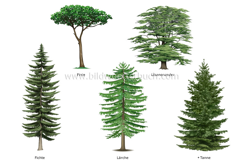 examples of conifers image