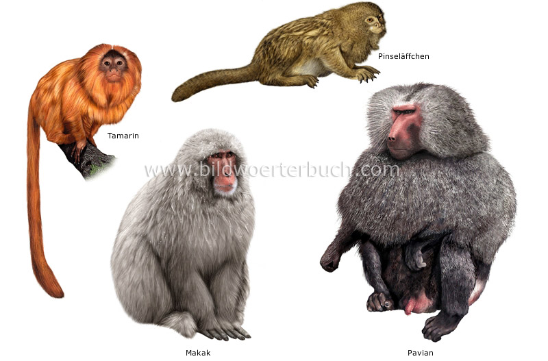 examples of primates image
