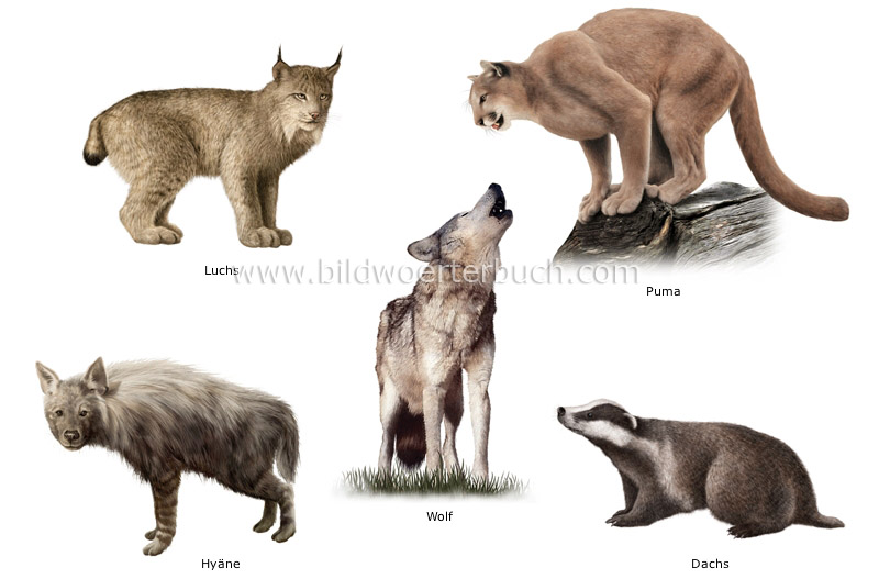animal kingdom carnivorous mammals examples of