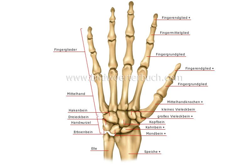 Mensch :: Anatomie :: Skelett :: Handknochen Bild - Bildwörterbuch
