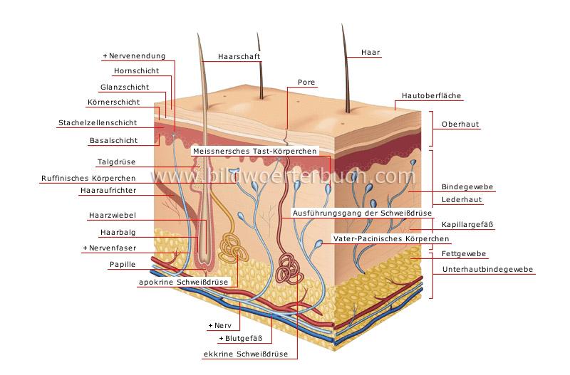 Haut - Bildwörterbuch