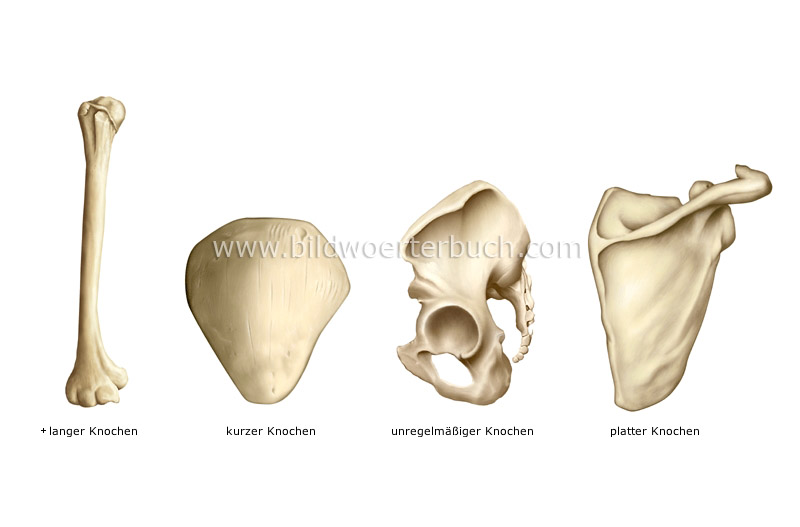 types of bones image