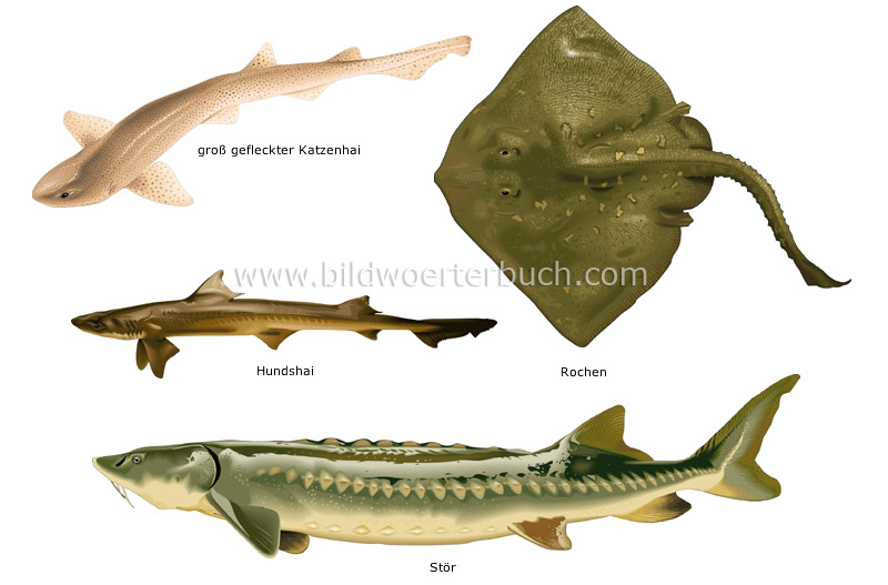 cartilaginous fishes image