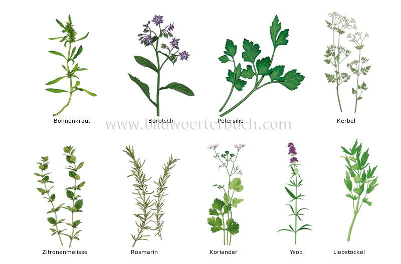 Nahrungsmittel und k che nahrungsmittel kr uter bild bildw rterbuch - Herbes aromatiques cuisine liste ...