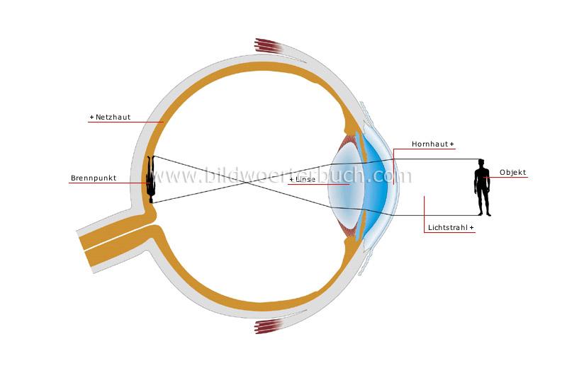 Wissenschaft :: Physik: Optik :: Sehen :: Normalsichtigkeit Bild - Bildwörterbuch