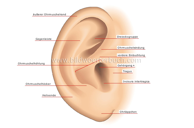 auricle image