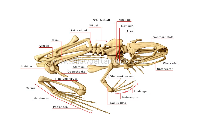 skeleton of a frog image