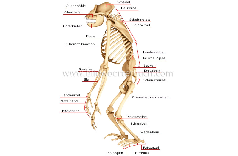 skeleton of a gorilla image