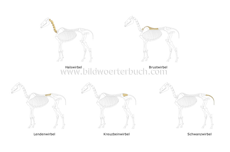 skeleton of a horse image