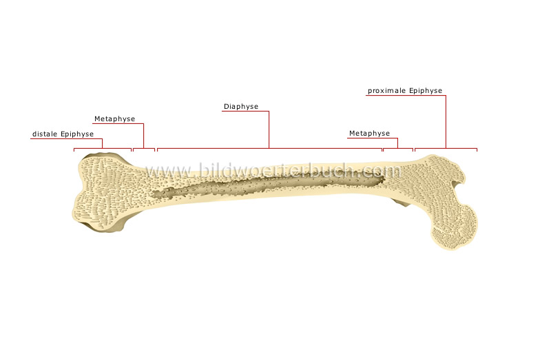 parts of a long bone image