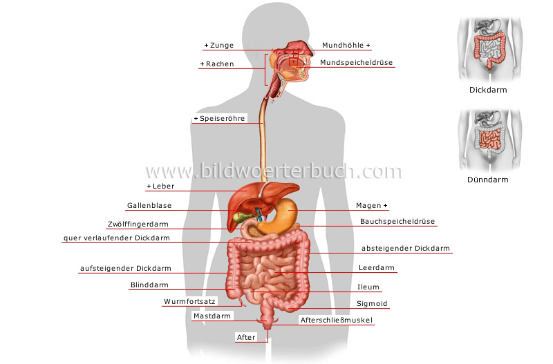 blank digestive system diagram kids. lank digestive system diagram