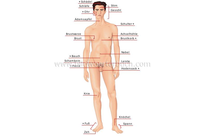 Mensch :: menschlicher Körper :: Mann :: Vorderansicht Bild ...