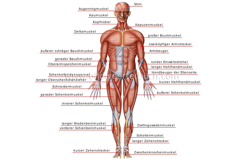 Mensch :: Anatomie :: Muskeln :: Vorderansicht Bild - Bildwörterbuch