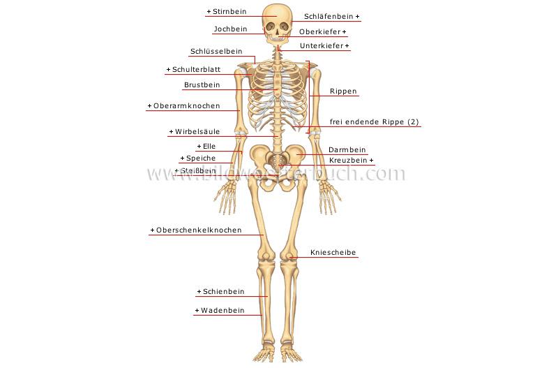 Mensch :: Anatomie :: Skelett :: Vorderansicht Bild - Bildwörterbuch